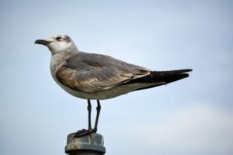 seagull,bird, birding